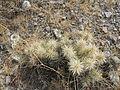 Cylindropuntia tunicata (5692751018).jpg