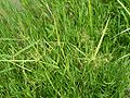 Cyperus haspan koazekt01.jpg