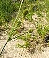 Cyperus retrorsus.jpg