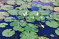D85 7046 Waterlilies Photographed by Trisorn Triboon (27).jpg