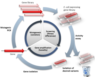 Directed evolution - An example of directed evolution with comparison to natural evolution. The inner cycle indicates the 3 stages of the directed evolution cycle with the natural process being mimicked in brackets. The outer circle demonstrates steps a typical experiment. The red symbols indicate functional variants, the pale symbols indicate variants with reduced function.