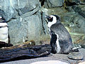 DSC26593, Monterey Bay Aquarium, California, USA (6101889540).jpg
