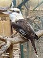 Dacelo novaeguineae -Attica Zoological Park, Spata, Greece-8a.jpg