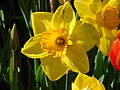 Daffodil 2.jpg