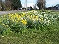 Daffodils, Uppingham Road. - geograph.org.uk - 736483.jpg