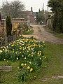 Daffodils by footpath - geograph.org.uk - 380991.jpg