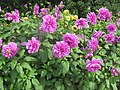 Dahlia 'Lilac Time' 1.jpg