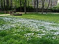 Daises in Hatfield Green - geograph.org.uk - 1257918.jpg