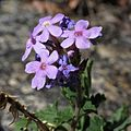 Dakota Vervain - Flickr - treegrow.jpg