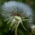 Dandelion ((Taraxacum officinale).jpg