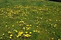 Dandelion field - geograph.org.uk - 790397.jpg