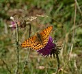 Dark Green Fritillary (9852964423).jpg