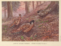 Darwin's and Styan's Koklass Pheasant by George Edward Lodge.png