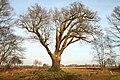 De 'Duizendjarige Eik' , opgaande boom - 375580 - onroerenderfgoed.jpg