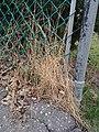 Dead grass under a fence.jpg