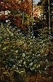 Deadly nightshade (Atropa belladonna); flowering plants grow Wellcome V0044357.jpg
