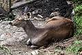Deer, Himalayan Zoological Park, Darjeeling, India (8087421992).jpg