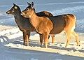 Deer in the Back Yard -- Drummond Island, Michigan in Winter - 49713520533.jpg