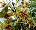Dendrobium Memoria Asiswadi.jpg