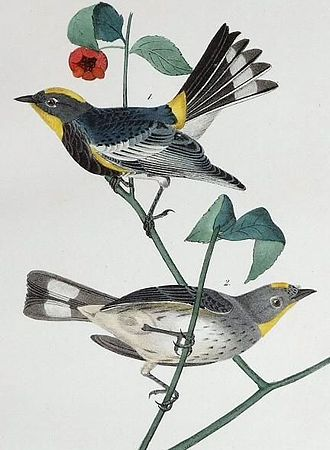 Book rebinding - One of the plates painted by Audubon — Dendroica auduboni