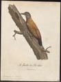 Dendropicus menstruus - 1796-1808 - Print - Iconographia Zoologica - Special Collections University of Amsterdam - UBA01 IZ18700193.tif