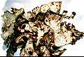 Dermatocarpon miniatum-3.jpg