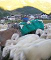 Dettaglio - asino porta agnellini - Desarpa Cogne.jpg