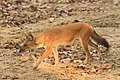 Dhole or Wild dog (48).jpg