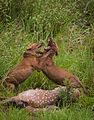 Dholes fighting over a kill.jpg