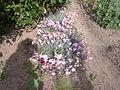 Dianthus caryophyllus - 1002.jpg