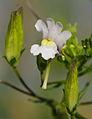 Diascia denticulata ÖBG 2012-07-08 (01).jpg