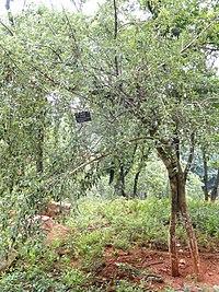Dichotomanthes tristaniaecarpa - Kunming Botanical Garden - DSC03211