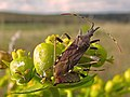 Dicranocephalus albipes sobre Euphorbia (14598977033).jpg