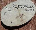 Dicranomya antennifera N. THEOBALD Holotype.jpg