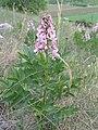 Dictamnus albus.JPG