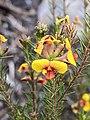 Dillwynia glaberrima.jpg