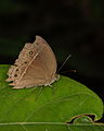 Dingy Bush Brown from a W-Javan lowland rainforest (6291576072).jpg
