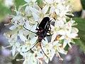 Dinoptera collaris 13.jpg