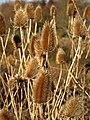 Dipsacus fullonum by Combe Lane - geograph.org.uk - 1188332.jpg