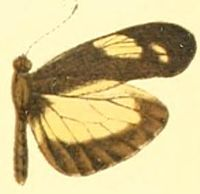 Dismorphia zathoe demeter.JPG