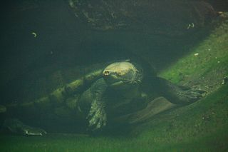 Central American river turtle species of reptile