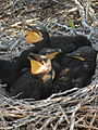 Double-crested Cormorants (7462467928).jpg