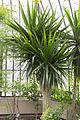 Dracaena arborea - 105.jpg