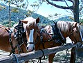 Draft Horses, Oak Glen, CA 5-2008 (6917728031).jpg