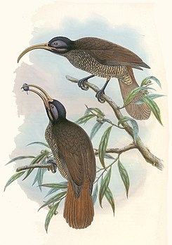 Drepanornis bruijnii - The birds of New Guinea (cropped).jpg