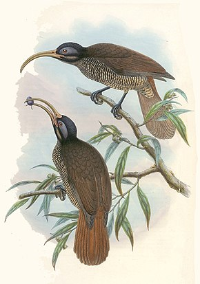 Description de l'image Drepanornis bruijnii - The birds of New Guinea (cropped).jpg.