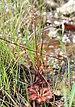 Drosera tokaiensis - Photo (c) Alpsdake, algunos derechos reservados (CC BY-SA)
