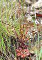 Drosera tokaiensis s5.jpg