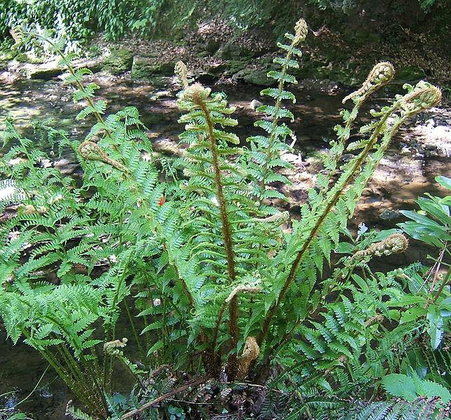 Bestand:Dryopteris affinis1.jpg