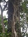 Drzewo dusiciel.JPG